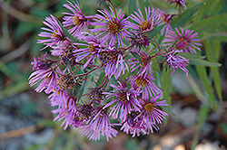 New England Aster (Aster novae-angliae) at Valley View Farms