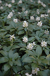 Japanese Spurge (Pachysandra terminalis) at Valley View Farms