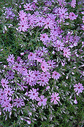 Fort Hill Moss Phlox (Phlox subulata 'Fort Hill') at Valley View Farms