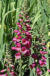 Camelot Rose Foxglove (Digitalis purpurea 'Camelot Rose') at Valley View Farms
