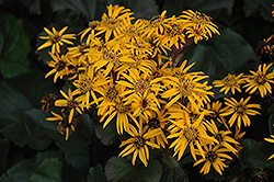 Britt Marie Crawford Ligularia (Ligularia dentata 'Britt Marie Crawford') at Valley View Farms