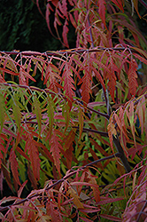 Tiger Eyes® Sumac (Rhus typhina 'Bailtiger') at Valley View Farms