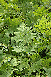 Royal Fern (Osmunda regalis) at Valley View Farms