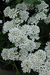 Alexander White Candytuft (Iberis sempervirens 'Alexander White') at Valley View Farms