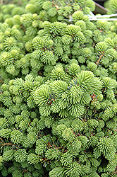 Little Gem Spruce (Picea abies 'Little Gem') at Valley View Farms