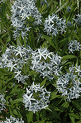 Blue Star Flower (Amsonia tabernaemontana) at Valley View Farms