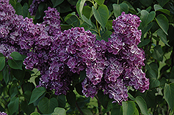 Yankee Doodle Lilac (Syringa vulgaris 'Yankee Doodle') at Valley View Farms