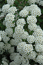 Renaissance Spirea (Spiraea x vanhouttei 'Renaissance') at Valley View Farms