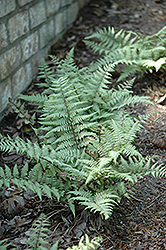 Ghost Fern (Athyrium 'Ghost') at Valley View Farms