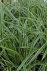 Ice Dance Sedge (Carex morrowii 'Ice Dance') at Valley View Farms