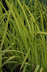 Bowles Golden Sedge (Carex elata 'Aurea') at Valley View Farms