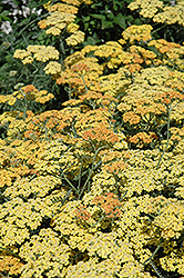 Terra Cotta Yarrow (Achillea 'Terra Cotta') at Valley View Farms