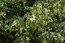 Greenspire Linden (Tilia cordata 'Greenspire') at Valley View Farms