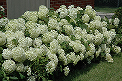 Annabelle Hydrangea (Hydrangea arborescens 'Annabelle') at Valley View Farms