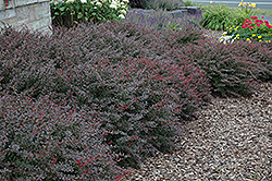 Crimson Pygmy Japanese Barberry (Berberis thunbergii 'Crimson Pygmy') at Valley View Farms