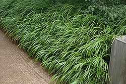 Japanese Woodland Grass (Hakonechloa macra) at Valley View Farms