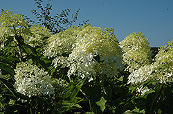 Phantom Hydrangea (Hydrangea paniculata 'Phantom') at Valley View Farms