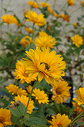Bressingham Doubloon Sunflower (Heliopsis helianthoides 'Bressingham Doubloon') at Valley View Farms