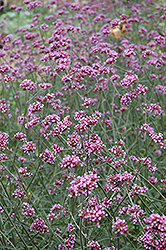 Tall Verbena (Verbena bonariensis) at Valley View Farms