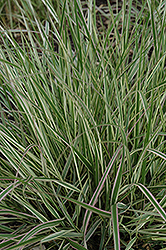 Variegated Reed Grass (Calamagrostis x acutiflora 'Overdam') at Valley View Farms