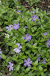Common Periwinkle (Vinca minor) at Valley View Farms