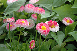 Bellisima Rose English Daisy (Bellis perennis 'Bellissima Rose') at Valley View Farms