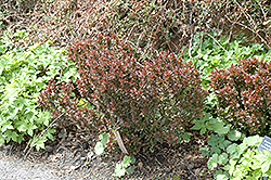 Bagatelle Japanese Barberry (Berberis thunbergii 'Bagatelle') at Valley View Farms