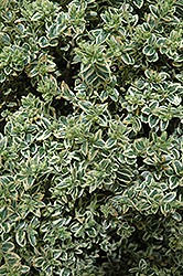 Variegated Boxwood (Buxus sempervirens 'Variegata') at Valley View Farms