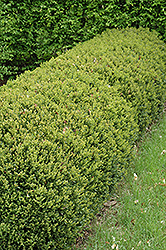 Green Gem Boxwood (Buxus 'Green Gem') at Valley View Farms