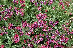 Raspberry Splash Lungwort (Pulmonaria 'Raspberry Splash') at Valley View Farms