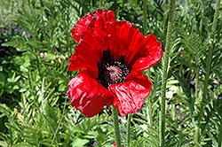 Beauty of Livermere Poppy (Papaver orientale 'Beauty of Livermere') at Valley View Farms