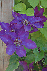 The President Clematis (Clematis 'The President') at Valley View Farms