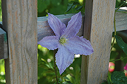 Blue Angel Clematis (Clematis 'Blue Angel') at Valley View Farms