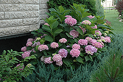 Endless Summer® Hydrangea (Hydrangea macrophylla 'Endless Summer') at Valley View Farms