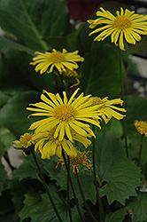 Little Leo Leopard's Bane (Doronicum 'Little Leo') at Valley View Farms