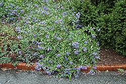 Blue Mist Caryopteris (Caryopteris x clandonensis 'Blue Mist') at Valley View Farms