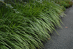 Lily Turf (Liriope spicata) at Valley View Farms