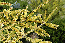 Skylands Golden Spruce (Picea orientalis 'Skylands') at Valley View Farms