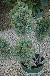 Hetz Blue Juniper (pom pom) (Juniperus chinensis 'Hetz Blue (pom pom)') at Valley View Farms