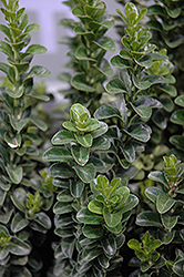 Green Spire Euonymus (Euonymus japonicus 'Green Spire') at Valley View Farms
