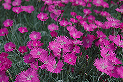 Firewitch Pinks (Dianthus gratianopolitanus 'Firewitch') at Valley View Farms