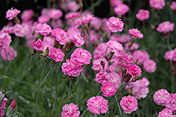 Tiny Rubies Dwarf Mat Pinks (Dianthus gratianopolitanus 'Tiny Rubies') at Valley View Farms