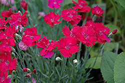 Neon Star Pinks (Dianthus 'Neon Star') at Valley View Farms