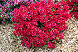 Hershey's Red Azalea (Rhododendron 'Hershey's Red') at Valley View Farms