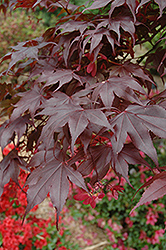Bloodgood Japanese Maple (Acer palmatum 'Bloodgood') at Valley View Farms