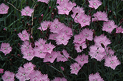 Bath's Pink Pinks (Dianthus 'Bath's Pink') at Valley View Farms