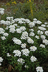 Purity Candytuft (Iberis sempervirens 'Purity') at Valley View Farms