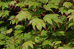 Tsuma Gaki Japanese Maple (Acer palmatum 'Tsuma Gaki') at Valley View Farms