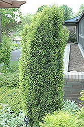 Gold Cone Juniper (Juniperus communis 'Gold Cone') at Valley View Farms