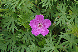 Tiny Monster Cranesbill (Geranium 'Tiny Monster') at Valley View Farms